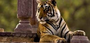 Tiger Tours in India and Tiger Safaris in India