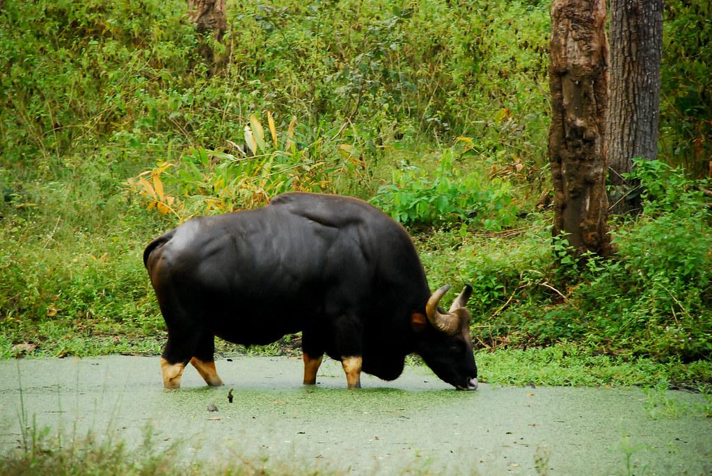 Bison Nagarhole National Park